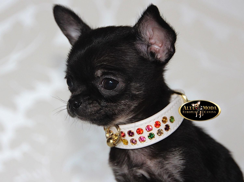 Collares para perros peque os alta moda europea canina for Collares para perros