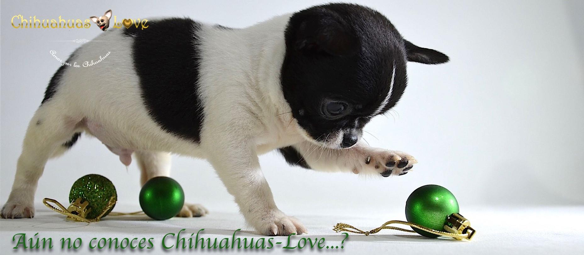 comprar_cachorros_chihuahua